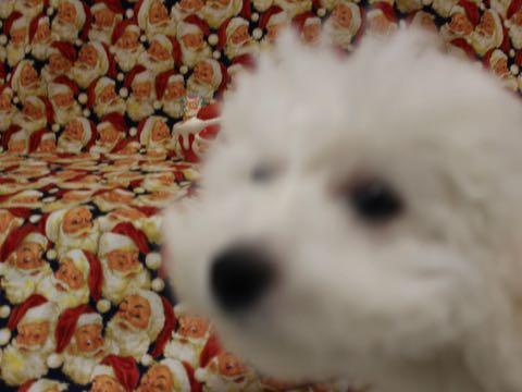 ビションフリーゼこいぬ情報フントヒュッテビションこいぬ画像子犬の社会化ビション赤ちゃんおんなのこかわいいビションフリーゼおとこのこ東京ビション出産情報性格ビション家族募集中_703