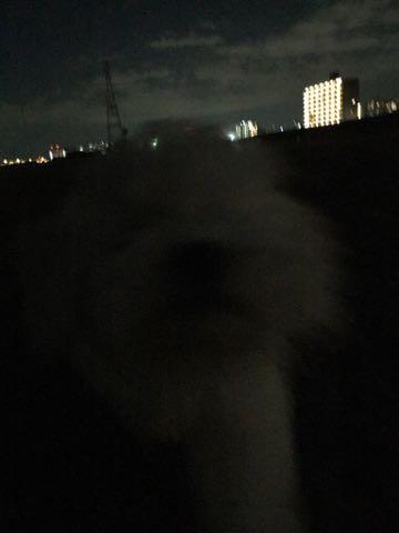 ビションフリーゼこいぬ情報フントヒュッテビションこいぬ画像子犬の社会化ビション赤ちゃんおんなのこかわいいビションフリーゼおとこのこ東京ビション出産情報性格ビション家族募集中_709