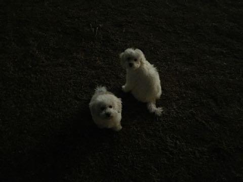 ビションフリーゼこいぬ情報フントヒュッテビションこいぬ画像子犬の社会化ビション赤ちゃんおんなのこかわいいビションフリーゼおとこのこ東京ビション出産情報性格ビション家族募集中_713