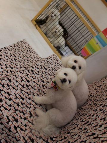 ビションフリーゼこいぬ情報フントヒュッテビションこいぬ画像子犬の社会化ビション赤ちゃんおんなのこかわいいビションフリーゼおとこのこ東京ビション出産情報性格ビション家族募集中_721