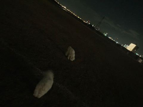 ビションフリーゼこいぬ情報フントヒュッテビションこいぬ画像子犬の社会化ビション赤ちゃんおんなのこかわいいビションフリーゼおとこのこ東京ビション出産情報性格ビション家族募集中_724