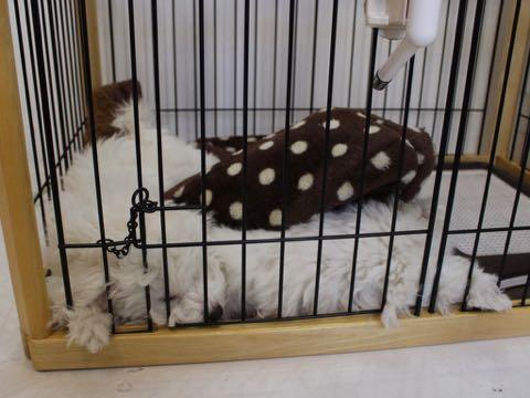 ビションフリーゼこいぬ情報フントヒュッテビションこいぬ画像子犬の社会化ビション赤ちゃんおんなのこかわいいビションフリーゼおとこのこ東京ビション出産情報性格ビション家族募集中_736