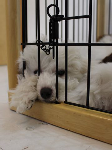ビションフリーゼこいぬ情報フントヒュッテビションこいぬ画像子犬の社会化ビション赤ちゃんおんなのこかわいいビションフリーゼおとこのこ東京ビション出産情報性格ビション家族募集中_737