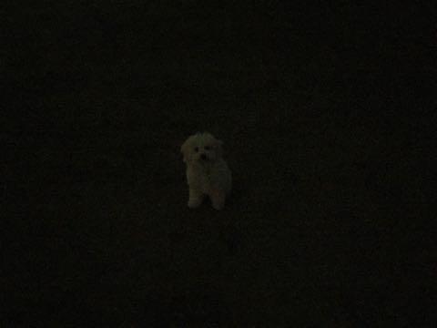 ビションフリーゼこいぬ情報フントヒュッテビションこいぬ画像子犬の社会化ビション赤ちゃんおんなのこかわいいビションフリーゼおとこのこ東京ビション出産情報性格ビション家族募集中_745