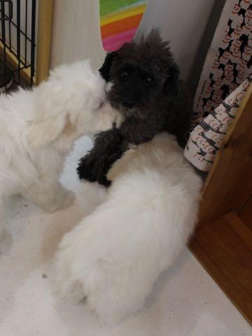 ビションフリーゼこいぬ情報フントヒュッテビションこいぬ画像子犬の社会化ビション赤ちゃんおんなのこかわいいビションフリーゼおとこのこ東京ビション出産情報性格ビション家族募集中_757