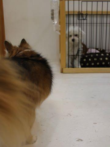 ビションフリーゼこいぬ情報フントヒュッテビションこいぬ画像子犬の社会化ビション赤ちゃんおんなのこかわいいビションフリーゼおとこのこ東京ビション出産情報性格ビション家族募集中_759