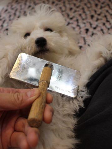 ビションフリーゼこいぬ情報フントヒュッテビションこいぬ画像子犬の社会化ビション赤ちゃんおんなのこかわいいビションフリーゼおとこのこ東京ビション出産情報性格ビション家族募集中_762