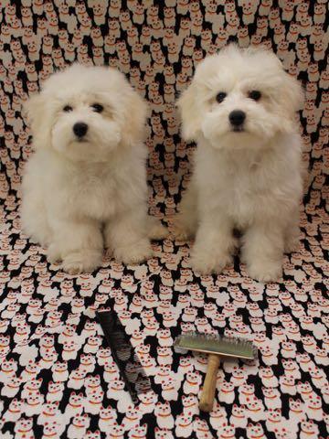 ビションフリーゼこいぬ情報フントヒュッテビションこいぬ画像子犬の社会化ビション赤ちゃんおんなのこかわいいビションフリーゼおとこのこ東京ビション出産情報性格ビション家族募集中_763