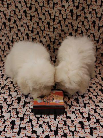 ビションフリーゼこいぬ情報フントヒュッテビションこいぬ画像子犬の社会化ビション赤ちゃんおんなのこかわいいビションフリーゼおとこのこ東京ビション出産情報性格ビション家族募集中_764
