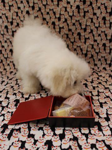 ビションフリーゼこいぬ情報フントヒュッテビションこいぬ画像子犬の社会化ビション赤ちゃんおんなのこかわいいビションフリーゼおとこのこ東京ビション出産情報性格ビション家族募集中_766