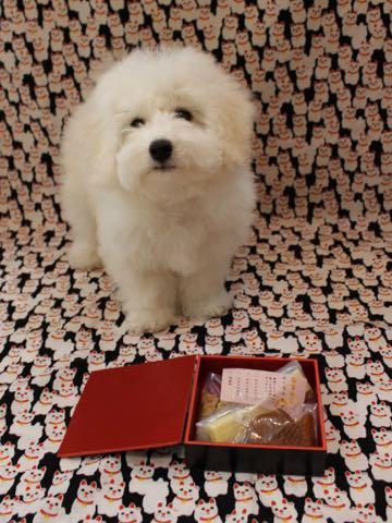 ビションフリーゼこいぬ情報フントヒュッテビションこいぬ画像子犬の社会化ビション赤ちゃんおんなのこかわいいビションフリーゼおとこのこ東京ビション出産情報性格ビション家族募集中_767