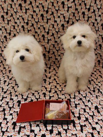 ビションフリーゼこいぬ情報フントヒュッテビションこいぬ画像子犬の社会化ビション赤ちゃんおんなのこかわいいビションフリーゼおとこのこ東京ビション出産情報性格ビション家族募集中_768