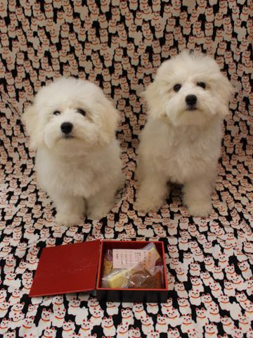 ビションフリーゼこいぬ情報フントヒュッテビションこいぬ画像子犬の社会化ビション赤ちゃんおんなのこかわいいビションフリーゼおとこのこ東京ビション出産情報性格ビション家族募集中_769