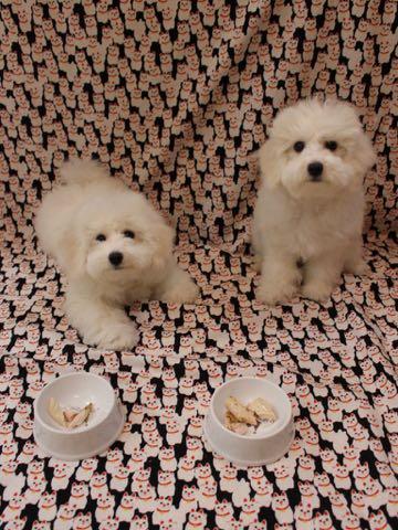 ビションフリーゼこいぬ情報フントヒュッテビションこいぬ画像子犬の社会化ビション赤ちゃんおんなのこかわいいビションフリーゼおとこのこ東京ビション出産情報性格ビション家族募集中_770