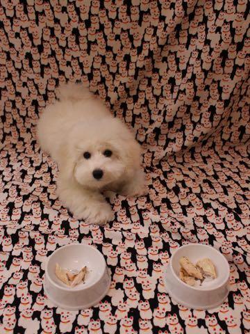 ビションフリーゼこいぬ情報フントヒュッテビションこいぬ画像子犬の社会化ビション赤ちゃんおんなのこかわいいビションフリーゼおとこのこ東京ビション出産情報性格ビション家族募集中_771