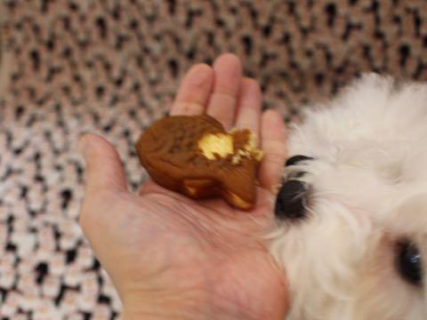 ビションフリーゼこいぬ情報フントヒュッテビションこいぬ画像子犬の社会化ビション赤ちゃんおんなのこかわいいビションフリーゼおとこのこ東京ビション出産情報性格ビション家族募集中_782