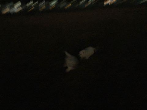 ビションフリーゼこいぬ情報フントヒュッテビションこいぬ画像子犬の社会化ビション赤ちゃんおんなのこかわいいビションフリーゼおとこのこ東京ビション出産情報性格ビション家族募集中_798
