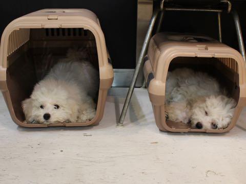 ビションフリーゼこいぬ情報フントヒュッテビションこいぬ画像子犬の社会化ビション赤ちゃんおんなのこかわいいビションフリーゼおとこのこ東京ビション出産情報性格ビション家族募集中_820