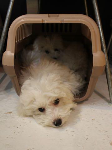 ビションフリーゼこいぬ情報フントヒュッテビションこいぬ画像子犬の社会化ビション赤ちゃんおんなのこかわいいビションフリーゼおとこのこ東京ビション出産情報性格ビション家族募集中_823