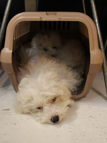 ビションフリーゼこいぬ情報フントヒュッテビションこいぬ画像子犬の社会化ビション赤ちゃんおんなのこかわいいビションフリーゼおとこのこ東京ビション出産情報性格ビション家族募集中_824