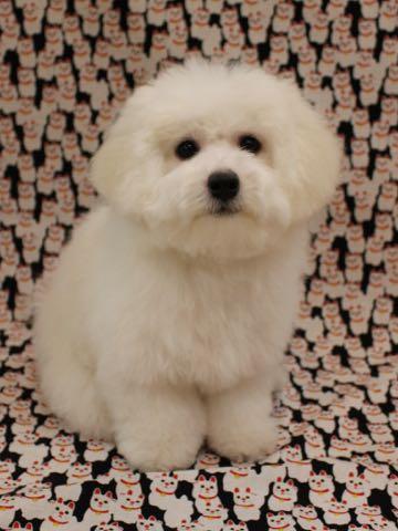 ビションフリーゼこいぬ情報フントヒュッテビションこいぬ画像子犬の社会化ビション赤ちゃんおんなのこかわいいビションフリーゼおとこのこ東京ビション出産情報性格ビション家族募集中_856