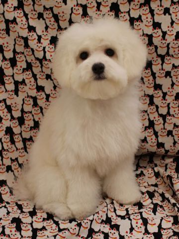 ビションフリーゼこいぬ情報フントヒュッテビションこいぬ画像子犬の社会化ビション赤ちゃんおんなのこかわいいビションフリーゼおとこのこ東京ビション出産情報性格ビション家族募集中_857