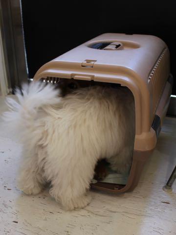 ビションフリーゼこいぬ情報フントヒュッテビションこいぬ画像子犬の社会化ビション赤ちゃんおんなのこかわいいビションフリーゼおとこのこ東京ビション出産情報性格ビション家族募集中_861