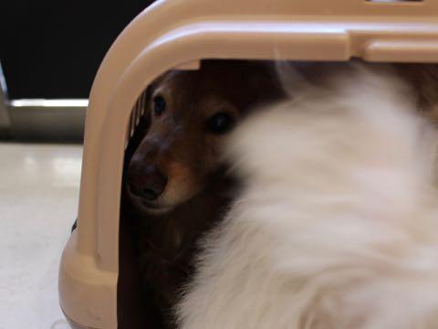 ビションフリーゼこいぬ情報フントヒュッテビションこいぬ画像子犬の社会化ビション赤ちゃんおんなのこかわいいビションフリーゼおとこのこ東京ビション出産情報性格ビション家族募集中_862