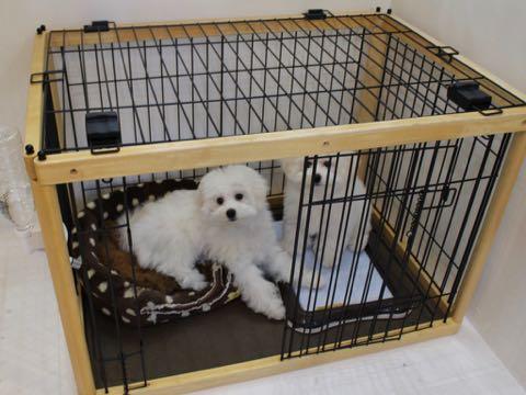 ビションフリーゼこいぬ情報フントヒュッテビションこいぬ画像子犬の社会化ビション赤ちゃんおんなのこかわいいビションフリーゼおとこのこ東京ビション出産情報性格ビション家族募集中_863