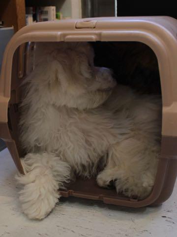 ビションフリーゼこいぬ情報フントヒュッテビションこいぬ画像子犬の社会化ビション赤ちゃんおんなのこかわいいビションフリーゼおとこのこ東京ビション出産情報性格ビション家族募集中_870
