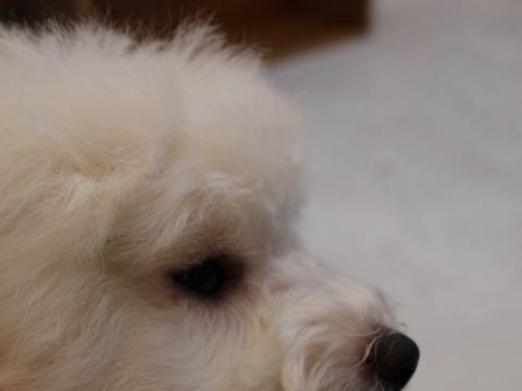 ビションフリーゼこいぬ情報フントヒュッテビションこいぬ画像子犬の社会化ビション赤ちゃんおんなのこかわいいビションフリーゼおとこのこ東京ビション出産情報性格ビション家族募集中_873