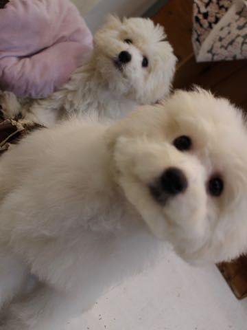 ビションフリーゼこいぬ情報フントヒュッテビションこいぬ画像子犬の社会化ビション赤ちゃんおんなのこかわいいビションフリーゼおとこのこ東京ビション出産情報性格ビション家族募集中_874