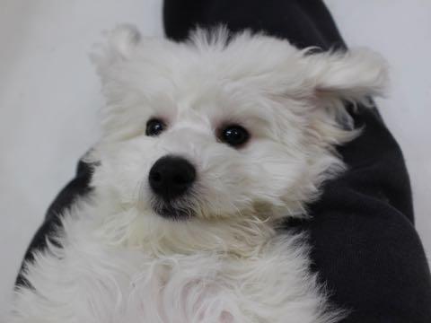ビションフリーゼこいぬ情報フントヒュッテビションこいぬ画像子犬の社会化ビション赤ちゃんおんなのこかわいいビションフリーゼおとこのこ東京ビション出産情報性格ビション家族募集中_880