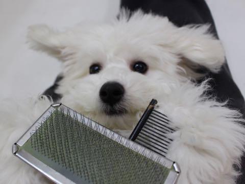 ビションフリーゼこいぬ情報フントヒュッテビションこいぬ画像子犬の社会化ビション赤ちゃんおんなのこかわいいビションフリーゼおとこのこ東京ビション出産情報性格ビション家族募集中_881