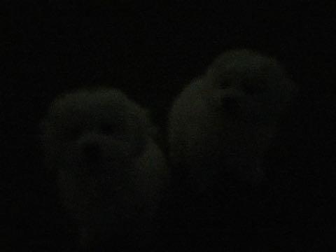ビションフリーゼこいぬ情報フントヒュッテビションこいぬ画像子犬の社会化ビション赤ちゃんおんなのこかわいいビションフリーゼおとこのこ東京ビション出産情報性格ビション家族募集中_890