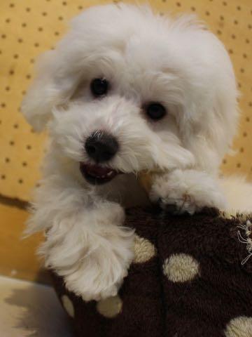ビションフリーゼこいぬ情報フントヒュッテビションこいぬ画像子犬の社会化ビション赤ちゃんおんなのこかわいいビションフリーゼおとこのこ東京ビション出産情報性格ビション家族募集中_901