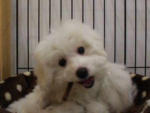 ビションフリーゼこいぬ情報フントヒュッテビションこいぬ画像子犬の社会化ビション赤ちゃんおんなのこかわいいビションフリーゼおとこのこ東京ビション出産情報性格ビション家族募集中_905