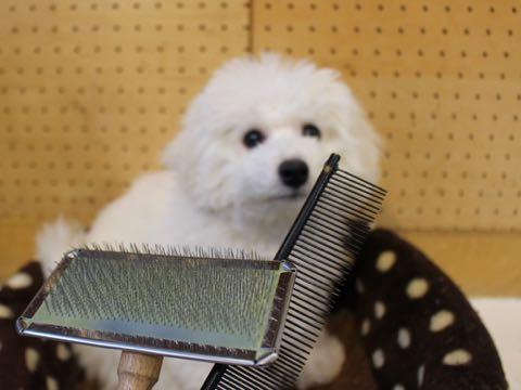 ビションフリーゼこいぬ情報フントヒュッテビションこいぬ画像子犬の社会化ビション赤ちゃんおんなのこかわいいビションフリーゼおとこのこ東京ビション出産情報性格ビション家族募集中_908