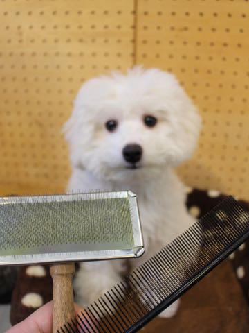 ビションフリーゼこいぬ情報フントヒュッテビションこいぬ画像子犬の社会化ビション赤ちゃんおんなのこかわいいビションフリーゼおとこのこ東京ビション出産情報性格ビション家族募集中_914