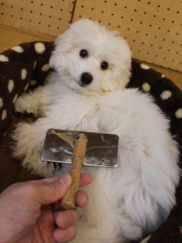 ビションフリーゼこいぬ情報フントヒュッテビションこいぬ画像子犬の社会化ビション赤ちゃんおんなのこかわいいビションフリーゼおとこのこ東京ビション出産情報性格ビション家族募集中_916