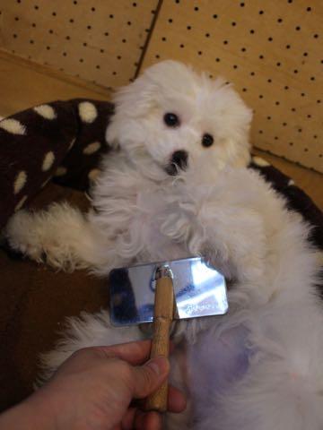ビションフリーゼこいぬ情報フントヒュッテビションこいぬ画像子犬の社会化ビション赤ちゃんおんなのこかわいいビションフリーゼおとこのこ東京ビション出産情報性格ビション家族募集中_917