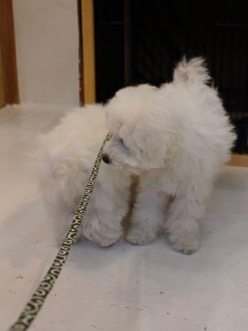 ビションフリーゼこいぬ情報フントヒュッテビションこいぬ画像子犬の社会化ビション赤ちゃんおんなのこかわいいビションフリーゼおとこのこ東京ビション出産情報性格ビション家族募集中_941