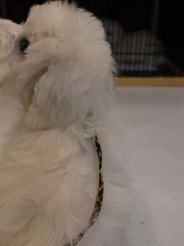 ビションフリーゼこいぬ情報フントヒュッテビションこいぬ画像子犬の社会化ビション赤ちゃんおんなのこかわいいビションフリーゼおとこのこ東京ビション出産情報性格ビション家族募集中_943