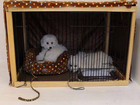 ビションフリーゼこいぬ情報フントヒュッテビションこいぬ画像子犬の社会化ビション赤ちゃんおんなのこかわいいビションフリーゼおとこのこ東京ビション出産情報性格ビション家族募集中_945