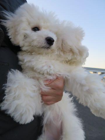 ビションフリーゼこいぬ情報フントヒュッテビションこいぬ画像子犬の社会化ビション赤ちゃんおんなのこかわいいビションフリーゼおとこのこ東京ビション出産情報性格ビション家族募集中_950