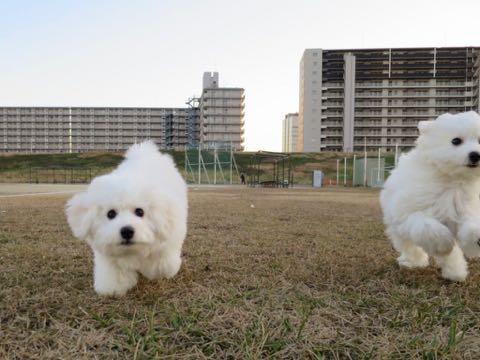 ビションフリーゼこいぬ情報フントヒュッテビションこいぬ画像子犬の社会化ビション赤ちゃんおんなのこかわいいビションフリーゼおとこのこ東京ビション出産情報性格ビション家族募集中_953