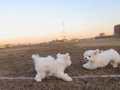ビションフリーゼこいぬ情報フントヒュッテビションこいぬ画像子犬の社会化ビション赤ちゃんおんなのこかわいいビションフリーゼおとこのこ東京ビション出産情報性格ビション家族募集中_955