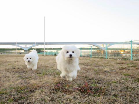 ビションフリーゼこいぬ情報フントヒュッテビションこいぬ画像子犬の社会化ビション赤ちゃんおんなのこかわいいビションフリーゼおとこのこ東京ビション出産情報性格ビション家族募集中_957