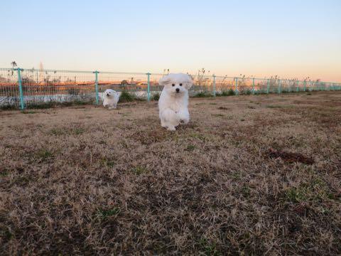 ビションフリーゼこいぬ情報フントヒュッテビションこいぬ画像子犬の社会化ビション赤ちゃんおんなのこかわいいビションフリーゼおとこのこ東京ビション出産情報性格ビション家族募集中_960