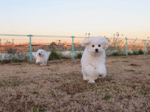 ビションフリーゼこいぬ情報フントヒュッテビションこいぬ画像子犬の社会化ビション赤ちゃんおんなのこかわいいビションフリーゼおとこのこ東京ビション出産情報性格ビション家族募集中_961